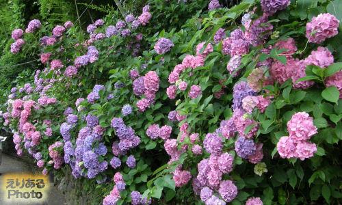 飛鳥山公園の紫陽花