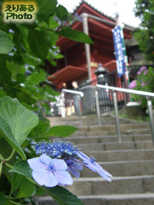 上野公園 寛永寺清水観音堂の紫陽花