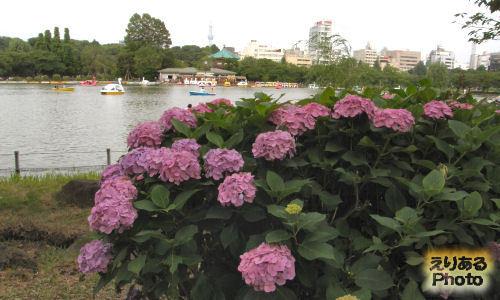 上野公園の紫陽花と弁天堂と東京スカイツリー